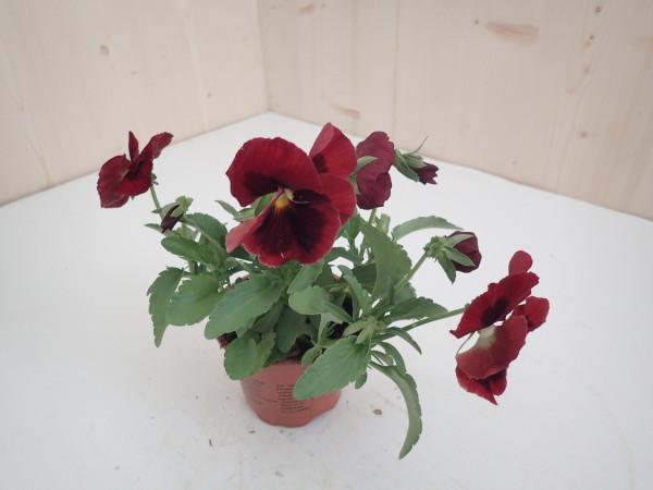 Viola x wittrockiana rot - Aug