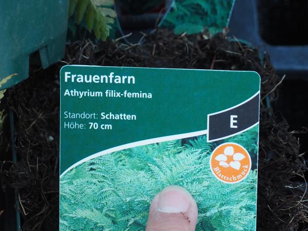 Athyrium filix-femina P 1