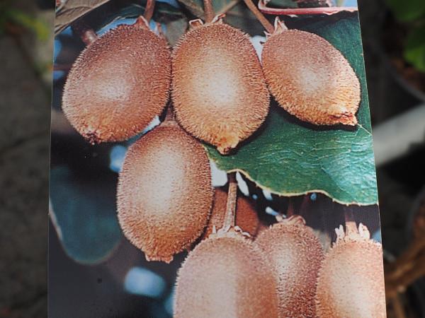 Kiwi Starella weiblich