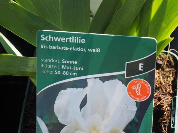 Iris barbata elatior weiss