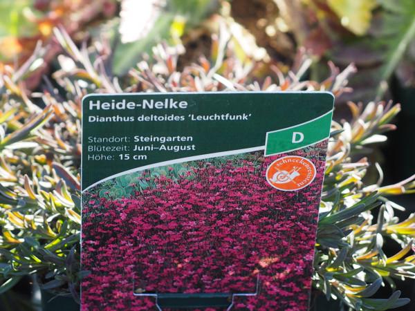 Dianthus deltoides 'Leuchtfunk' P 1 #