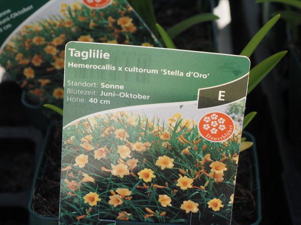 Hemerocallis x cultorum 'Stella d'Oro' P 1