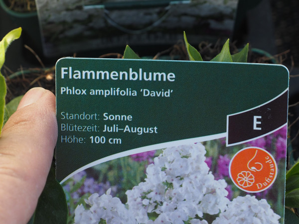 Phlox amplifolia 'David' P 1