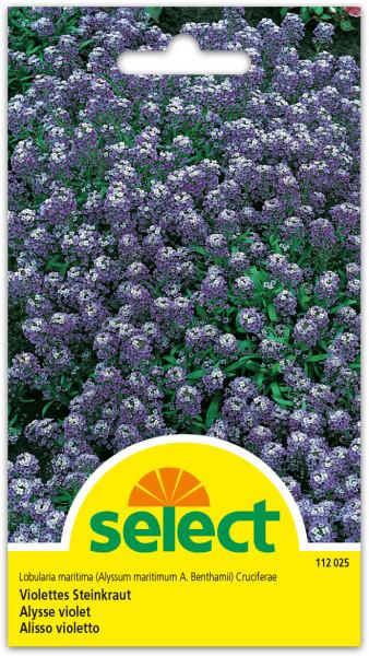 Steinkraut, violett