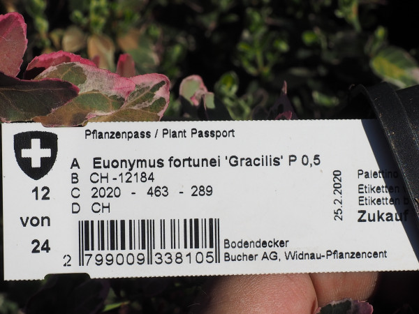 Euonymus fortunei 'Gracilis' P 0,5