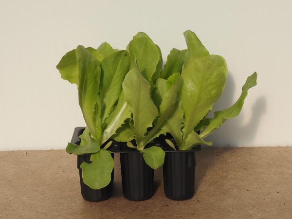 Salat - Kopfsalat grün