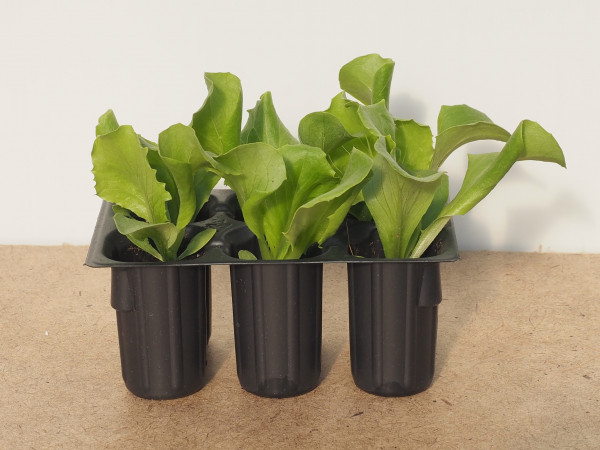 Salat - Eisberg grün
