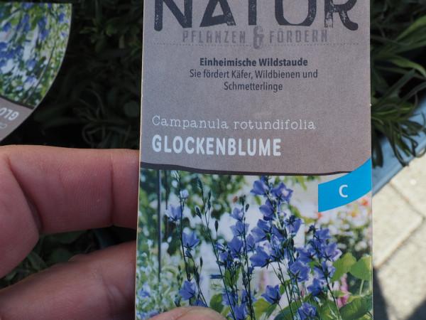 Campanula rotundifolia P 1 WS