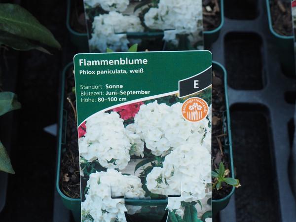 Phlox paniculata weiss