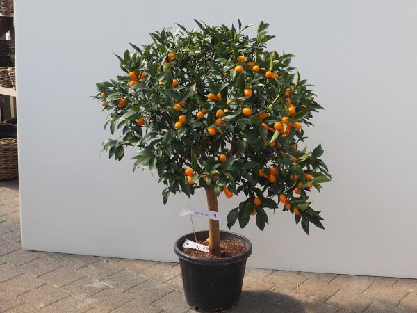 Kumquat Citrus Fortunella japonica