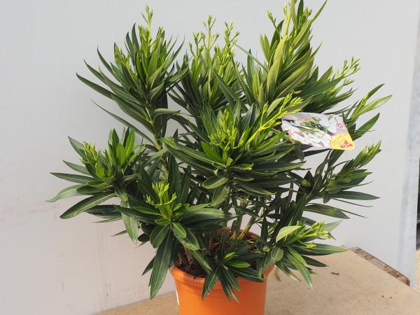 Nerium Oleander Busch