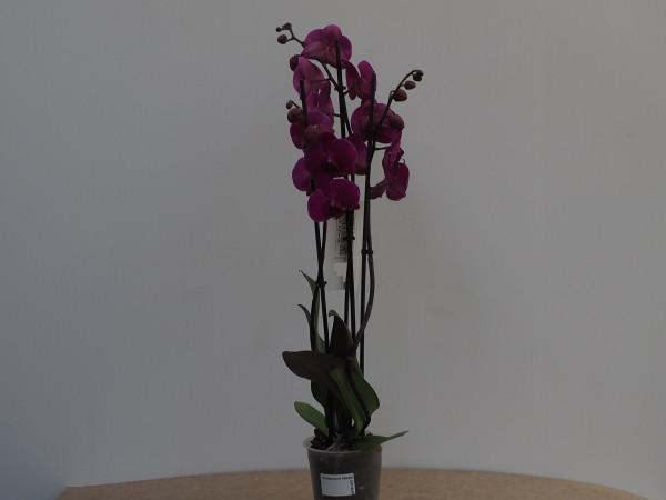 Phalaenopsis St. violett