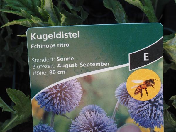 Echinops ritro P 1