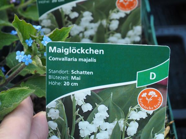 Convallaria majalis, weiß P 1