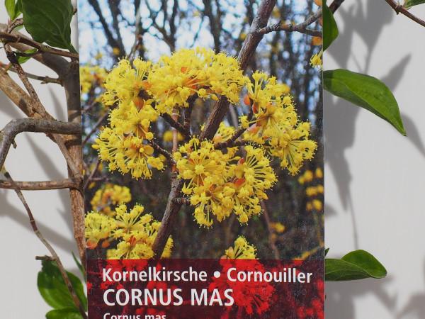 Kornelkirsche Cronus mas