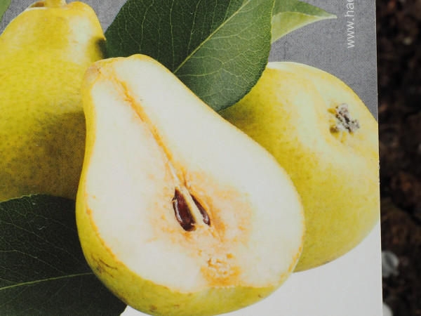 Birne Mini-Birne Garden Pearl