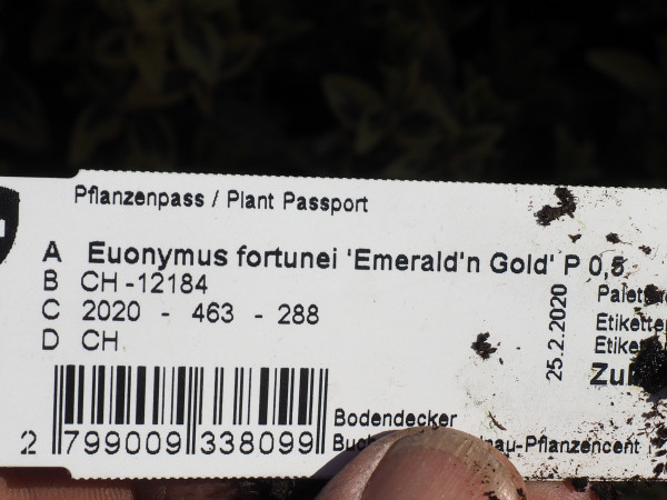 Euonymus fortunei 'Emerald'n Gold' P 0,5