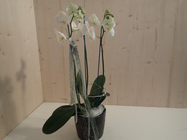Orchidee ausgarniert weiss