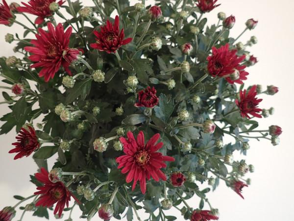 Chrysanthemum indicum 'Gardenmums Rot'