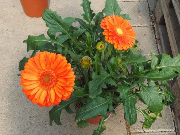 Gerbera Busch orange