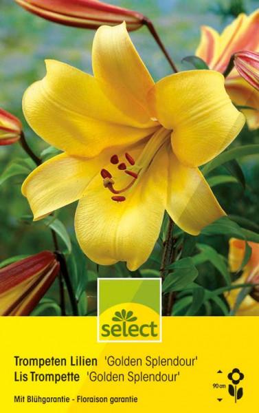 Lilium Golden 'Splendour'