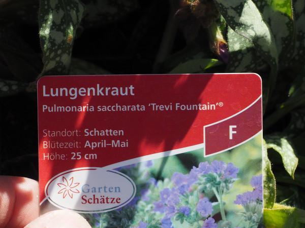Pulmonaria saccharata 'Trevi Fountain' ® P 1