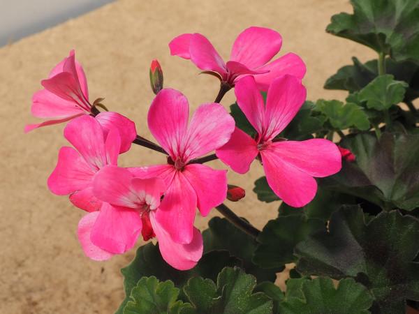 Freiland Geranien Pelargonium Caliope pink