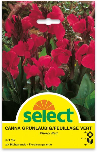 Canna indica 'Cherry Red', grünlaubig - Indisches Blumenrohr