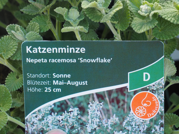 Nepeta racemosa 'Snowflake' P 1