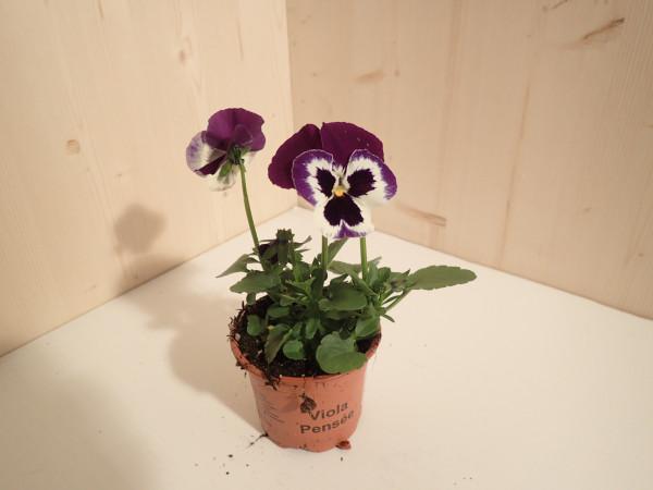 Viola x wittrockiana violett-weiss mit Auge