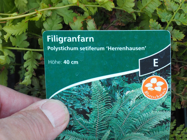 Polystichum setiferum 'Herrenhausen' P 1