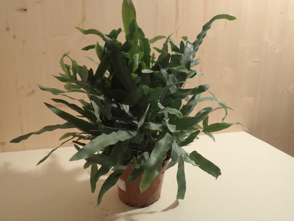 Phlebodium aureum Blue