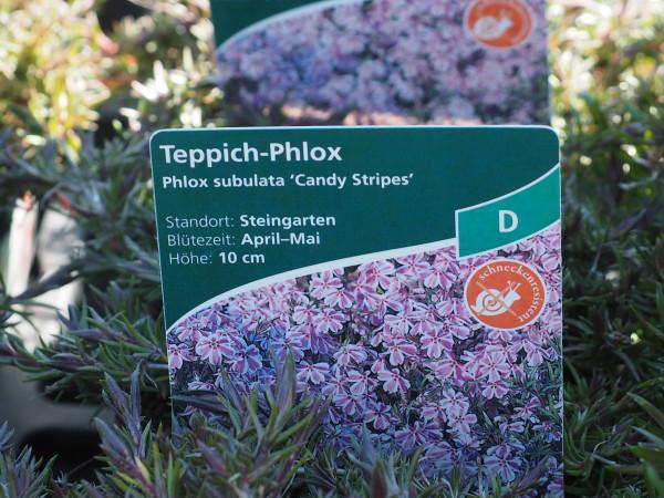 Phlox subulata 'Candy Stripes' P 1