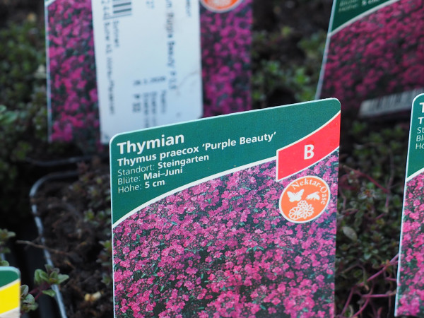 Thymus praecox ^Purple Beauty'