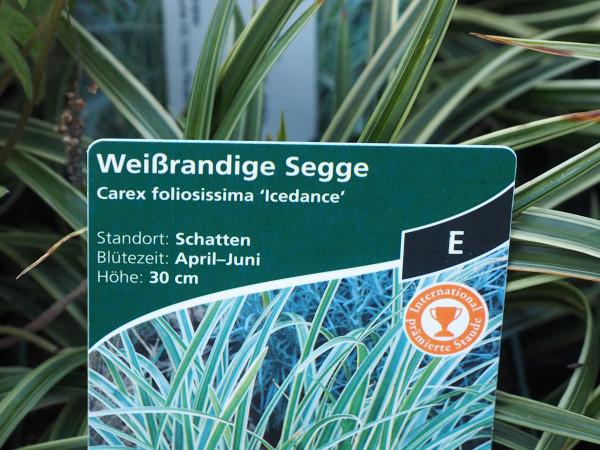 Carex foliosissima 'Icedance' P 1