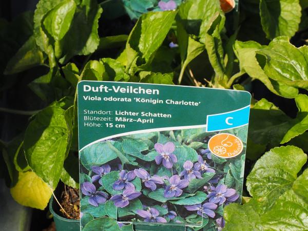Viola odorata 'Königin Charlotte' P 1