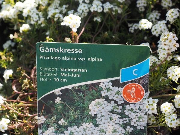 Prizelago alpina ssp.alpina P 1