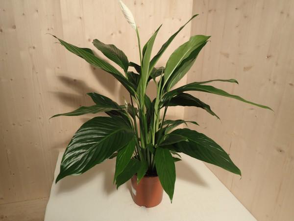 Spathiphyllum Sweet