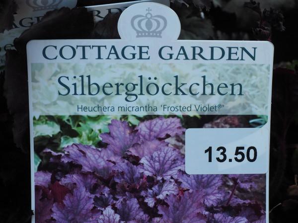 Heuchera micrantha 'Frosted Violet'
