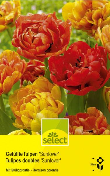 Gefüllte Tulpen 'Sunlover'
