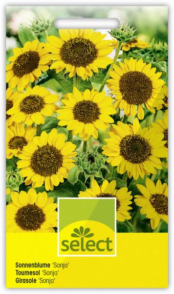 Sonnenblume 'Sonja'