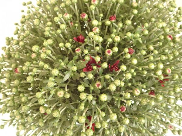Chrysanthemen rot