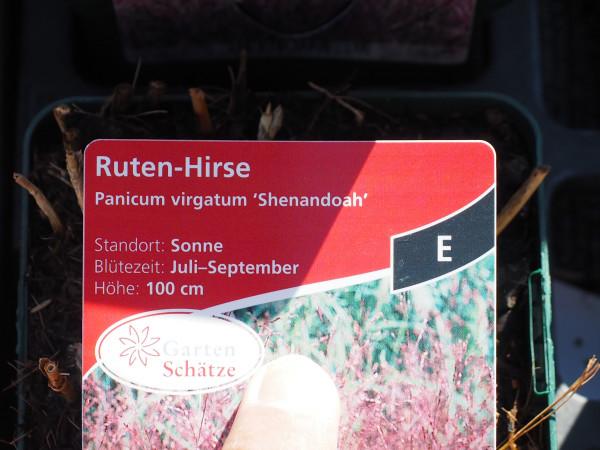 Panicum virgatum 'Shenandoah' P 1