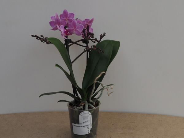 Phalaenopsis kolibri violett