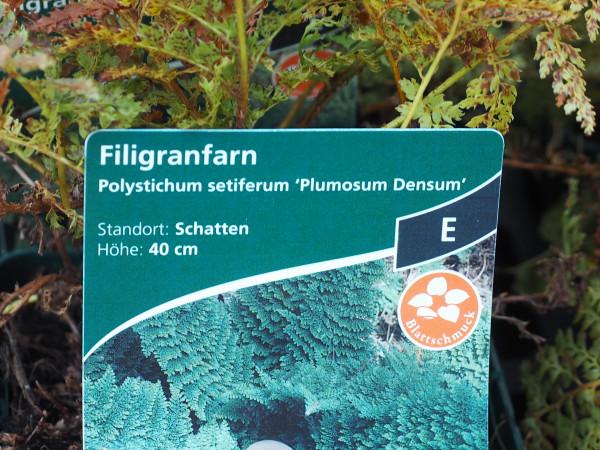 Polystichum setiferum 'Plumosum Densum' P 1