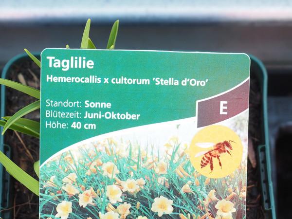 Hemerocallis x hybr.'Stella de Oro' P 1
