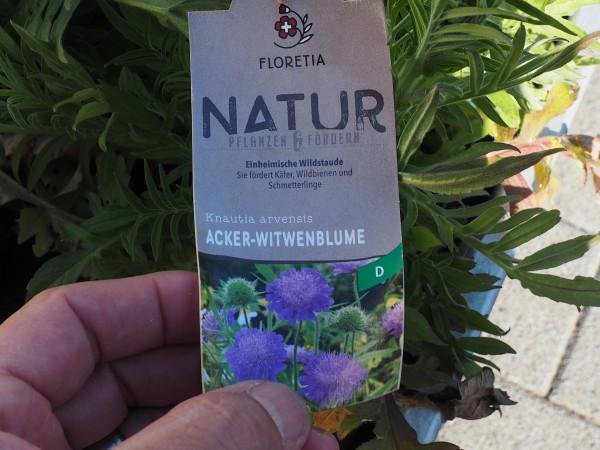 Knautia arvensis P 1 WS