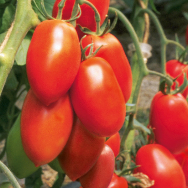 Tomaten Patia Red, rote Fleischtomate