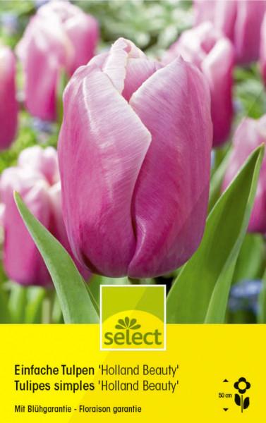 Einfache Tulpen 'Holland Beauty'