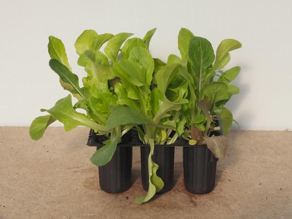 Salat - Pflücksalat Misticanza